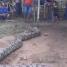 Ular Piton Panjang 8 Meter Lepas